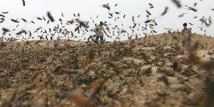 پای ملخها به مزارع و باغات رسید/ بحران آفرینی ملخها را کسی جدی نمیگیرد