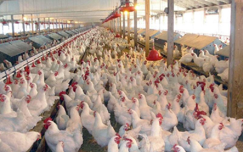 قیمت مرغ کاهش یافت اما فروش همچنان بالاتر از نرخ مصوب