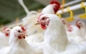 (مرغ،هم تخم میکنه هم چلغوز/ قیمت هر کیلو مرغ به ۲۱ هزار تومان رسید